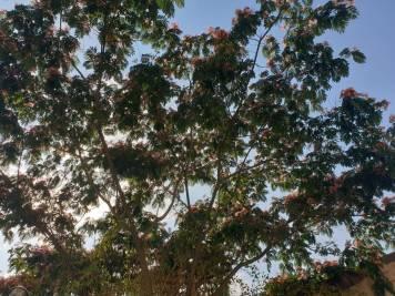 arboredematase