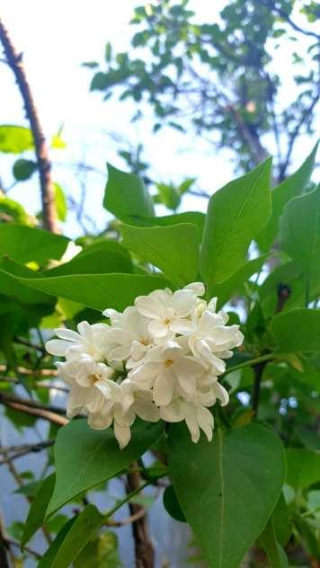 liliac alb